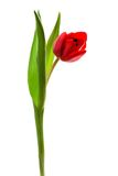 Red tulip. Beautiful and red tulip on a white background Stock Photos