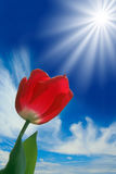 Red tulip. Beautiful bright red tulip glowing in the spring sunshine Stock Photos
