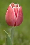 Red tulip. On the green background Stock Photo