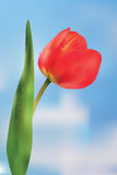 Red tulip against the sky. Stock Photography