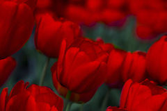 Red Tulip background. Stock Image