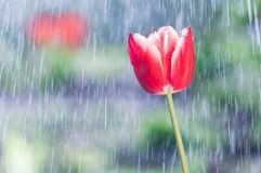 Red tulip on the background of tracks of rain drops.  Stock Image