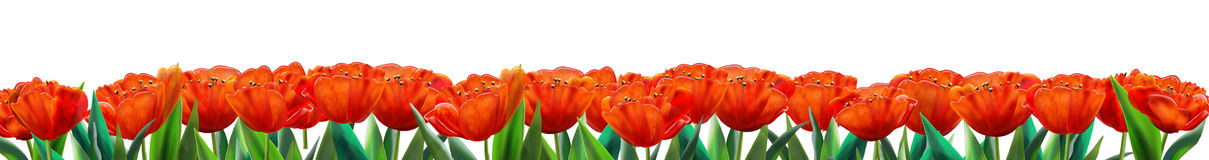 Red Tulip Banner Stock Photography