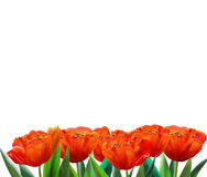Red tulips BANNER blank watercolor. Realistic illustration. Red tulips isolated on white background, Spring flowers. 8 march. women's day, wedding day royalty free stock image