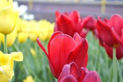 Red tulip. Red beautiful tulip in a flowerbed with yellow tulips Royalty Free Stock Image