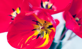 Red tulip. Beautiful red tulip  on white Royalty Free Stock Image