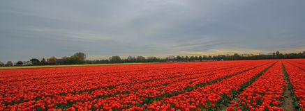 Red tulip bed. Cultivated red tulip on the filed at Netherland during spring time Stock Photos