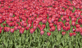 Free Red Tulip Bed, Tulips In Spring Stock Photo - 9020710