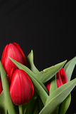 Red tulip on black background Stock Photos