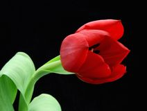 Red Tulip Black Background. Close up red tulip in bloom and green stem on black stock photo