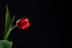 Red Tulip. On a black background Royalty Free Stock Photo