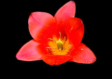Red tulip. On a black background Stock Images