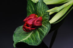Red tulip on a black background Royalty Free Stock Image