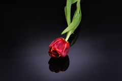 Red tulip on a black background Royalty Free Stock Photo