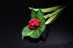 Red tulip on a black background Stock Photos