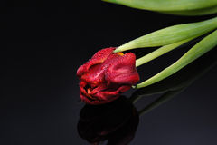 Red tulip on a black background Stock Photography