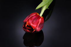 Red tulip on a black background Stock Images