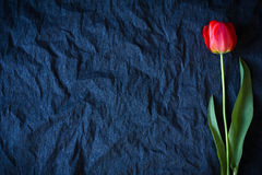Red tulip on a black background Royalty Free Stock Photos