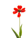 Red tulip with black center Stock Photo