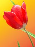 Red tulip in bloom Stock Images