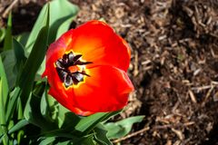 Red Tulip in bloom on sunny morning stock photo