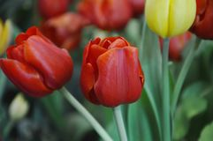 Red tulip blooming on branch in garden. Red tulip blooming on branch in the garden royalty free stock photos