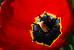 Red tulip blossom detail Royalty Free Stock Photography