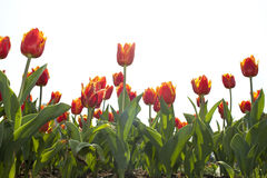 Red tulip in blossom season Stock Photos