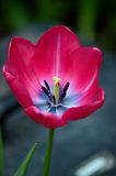 Red tulip blossom with stamen and petals and pistil Royalty Free Stock Photos