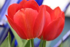 Red Tulip Blossoms Stock Image