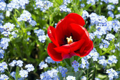 Red tulip and blue flowers. Red tulip on red flowers background Royalty Free Stock Photo