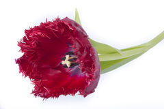 Red tulip with blue Stock Image