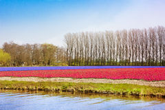 Red Tulip, blue hyacinth fields in evening light Stock Photo