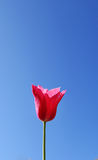 Red tulip on blue sky Stock Images