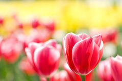 Red tulip and blur Royalty Free Stock Images