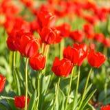 Red tulip with bokeh Stock Photos