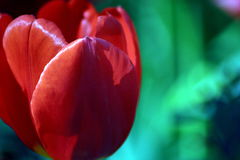 Red. Tulip at the Botanical Gardens Royalty Free Stock Photography