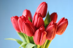Red tulip bouquet Stock Photo