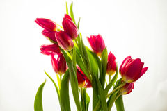 Red tulip bouquet on white background. Royalty Free Stock Photo