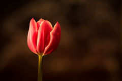 Red tulip on brown background. Red tulip with warm sunshine Stock Images
