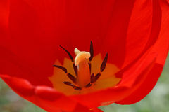 Red tulip bud. Close up of red tulip bud Royalty Free Stock Photo