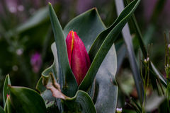 Red Tulip Bud Emerges Stock Photo