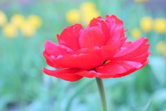 The red Bud of a Tulip on green background royalty free stock photography