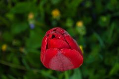 Red tulip bud. Top view stock image