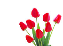 Red Tulip buds. A bundle of red tulips isolated on white background Stock Image