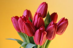 Red tulip bunch on yellow Stock Images