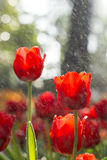 Red tulip. Chiangrai thailand have garden festival on winter season Royalty Free Stock Image