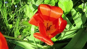 Red tulip. Close up of a red tulip stock footage