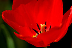Red Tulip Close-Up. Close-up of center of red tulip in sunshine Stock Images