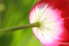 Red tulip close up. Abstract spring background Royalty Free Stock Photos